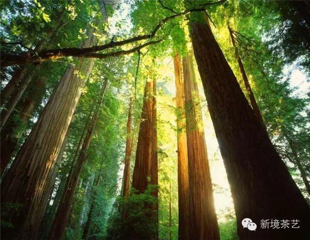 秘境,望天树,醉美遇见,森呼吸!