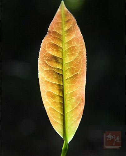 一片叶子的繁华