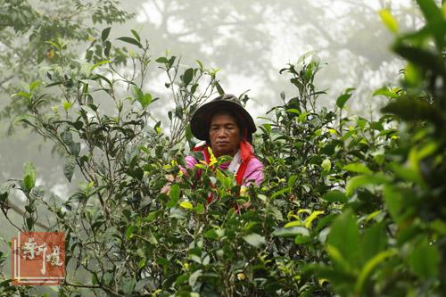 谁在炒茶推高普洱茶价格?