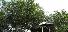 新境小勐宋茶厂及茶园基地